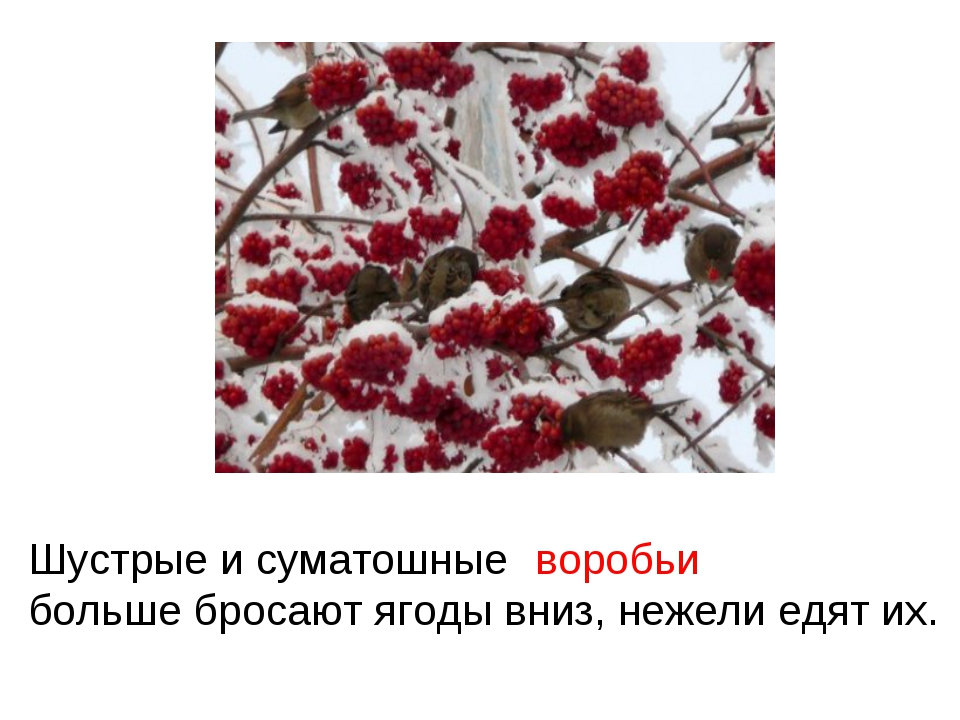 Шустрые и суматошные больше бросают ягоды вниз, нежели едят их. воробьи