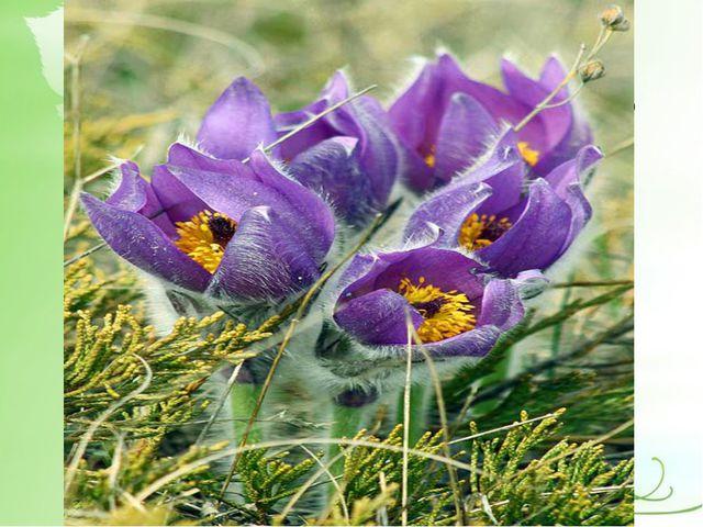 Согласно древней легенде, если цветок этого растения положить под голову, то...