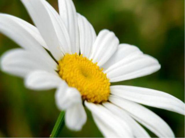 По легенде, в древние времена соцветия этого растения использовались степным...