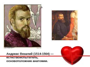 Основная часть Подробное описание АндреасВезалий(1514-1564) — естествоиспыт