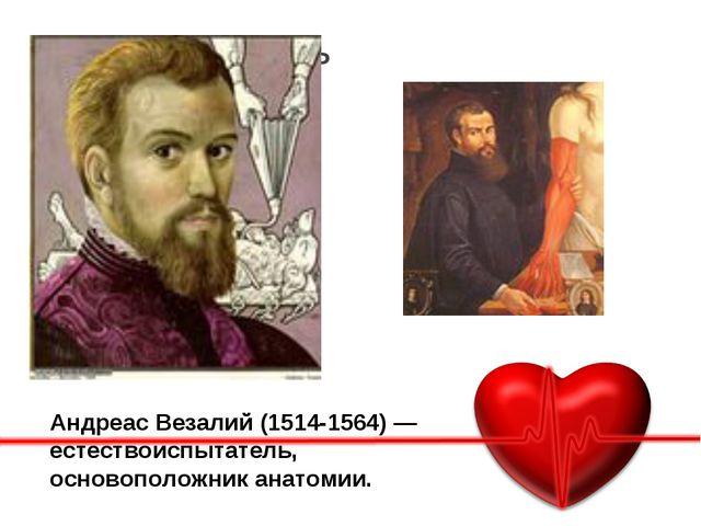 Основная часть Подробное описание АндреасВезалий(1514-1564) — естествоиспыт...