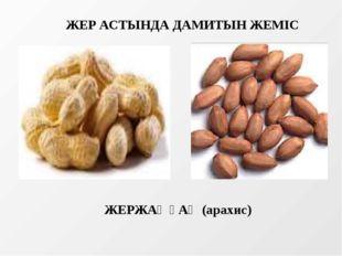 ЖЕР АСТЫНДА ДАМИТЫН ЖЕМІС ЖЕРЖАҢҒАҚ (арахис)