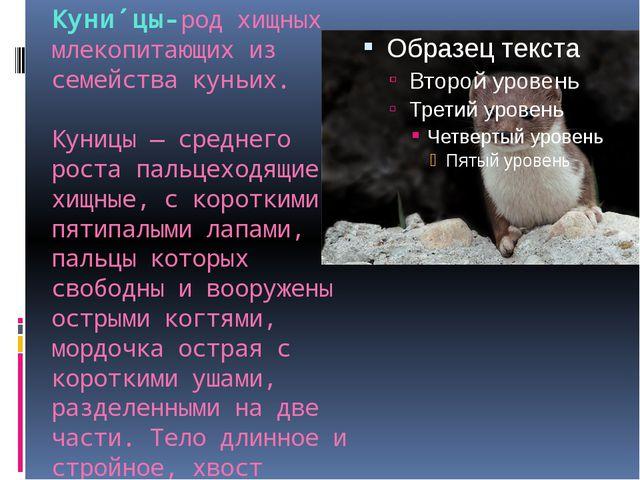 Куни́цы-родхищных млекопитающих из семейства куньих.  Куницы— среднего рос...