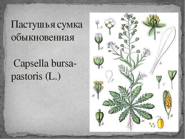 Пастушья сумка обыкновенная Capsella bursa-pastoris (L.)