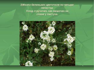 3)Много беленьких цветочков по четыре лепестка. Плод стручочек, как мешочек н