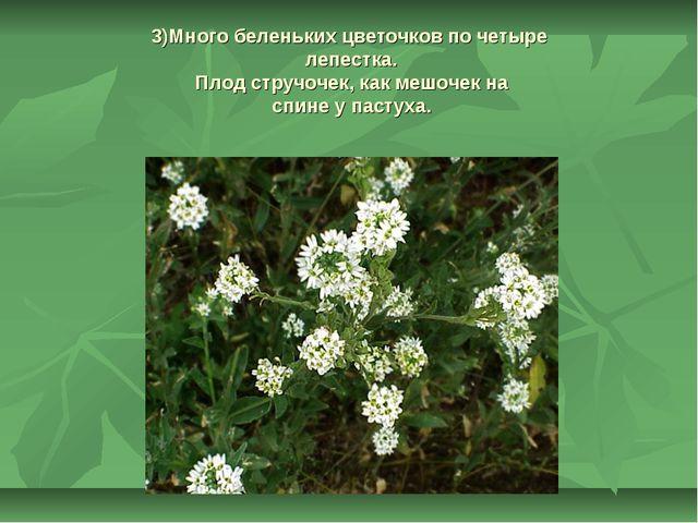 3)Много беленьких цветочков по четыре лепестка. Плод стручочек, как мешочек н...