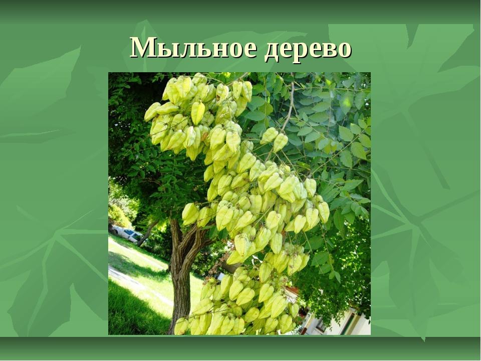 Мыльное дерево