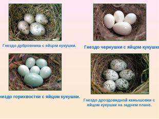 Гнездо дубровника с яйцом кукушки. Гнездо горихвостки с яйцом кукушки. Гнездо
