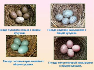 Гнездо лугового конька с яйцом кукушки. Гнездо садовой камышовки с яйцом куку