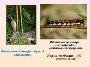 Кукушонок в гнезде садовой камышовки. Ядовитая гусеница шелкопряда – любимая