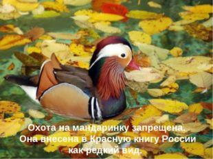 Охота на мандаринку запрещена. Она внесена в Красную книгу России как редкий