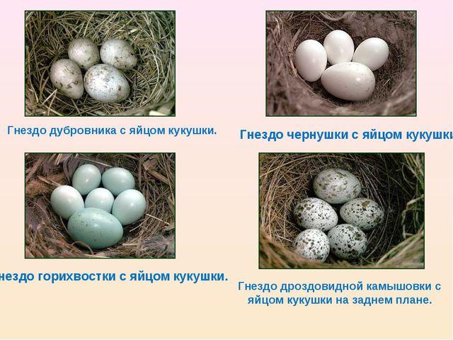 Гнездо дубровника с яйцом кукушки. Гнездо горихвостки с яйцом кукушки. Гнездо...