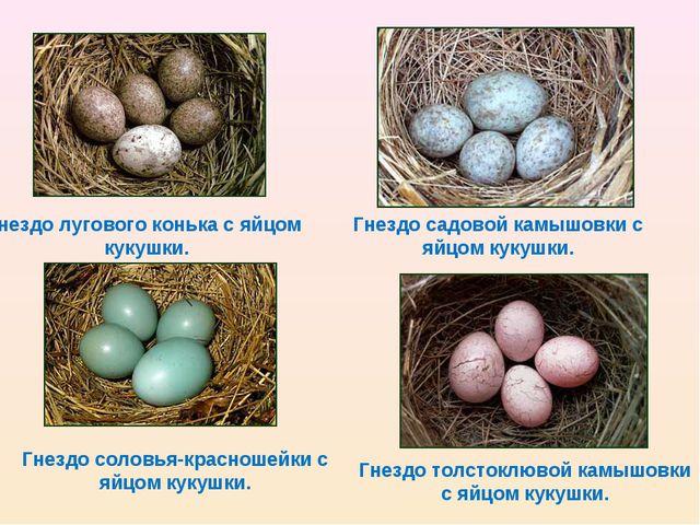 Гнездо лугового конька с яйцом кукушки. Гнездо садовой камышовки с яйцом куку...