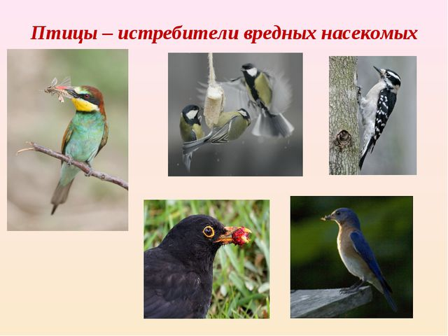 Птицы – истребители вредных насекомых