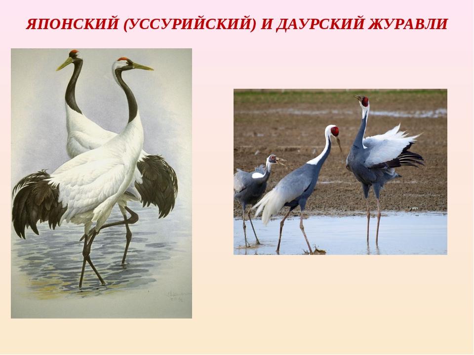 ЯПОНСКИЙ (УССУРИЙСКИЙ) И ДАУРСКИЙ ЖУРАВЛИ