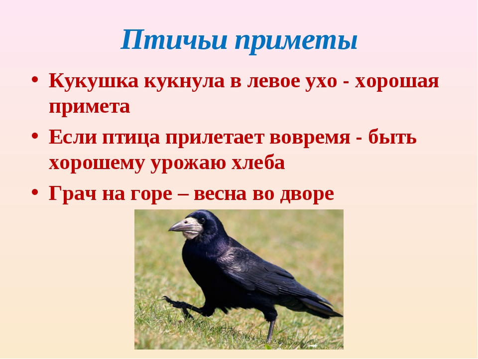 Птичьи приметы Кукушка кукнула в левое ухо - хорошая примета Если птица приле...