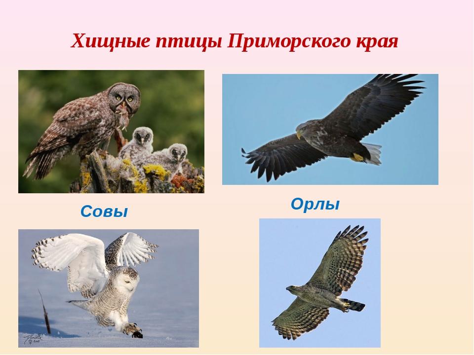 Хищные птицы Приморского края Совы Орлы