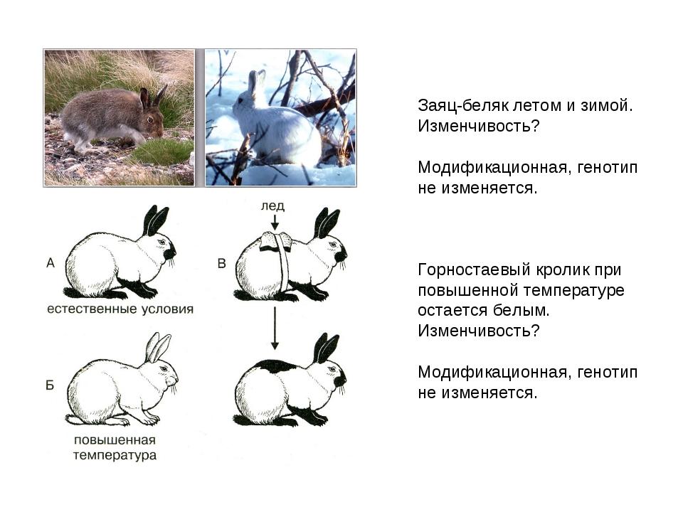 Заяц-беляк летом и зимой. Изменчивость? Модификационная, генотип не изменяетс...