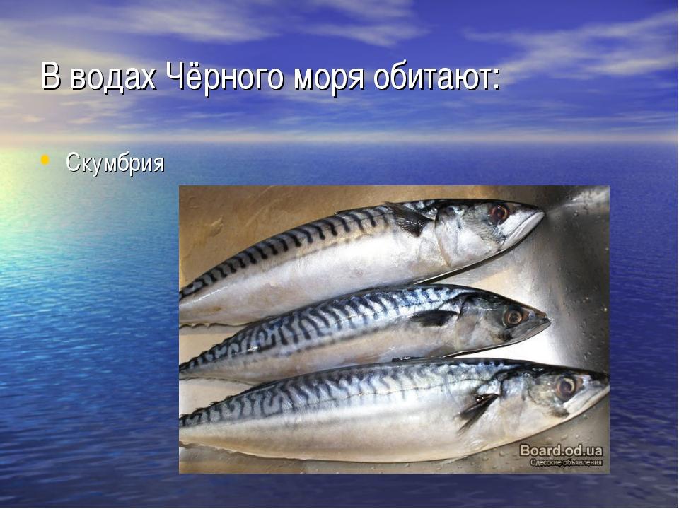 В водах Чёрного моря обитают: Скумбрия