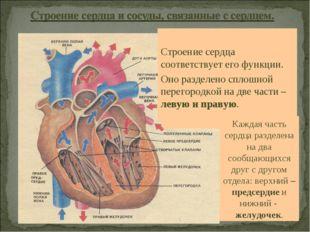 Строение сердца соответствует его функции. Оно разделено сплошной перегородк