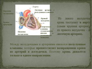 Аорта Легочная артерия с полулунным клапаном Правый желудочек Створчатые клап