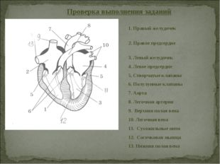 Проверка выполнения заданий 1. Правый желудочек 2. Правое предсердие 3. Левый