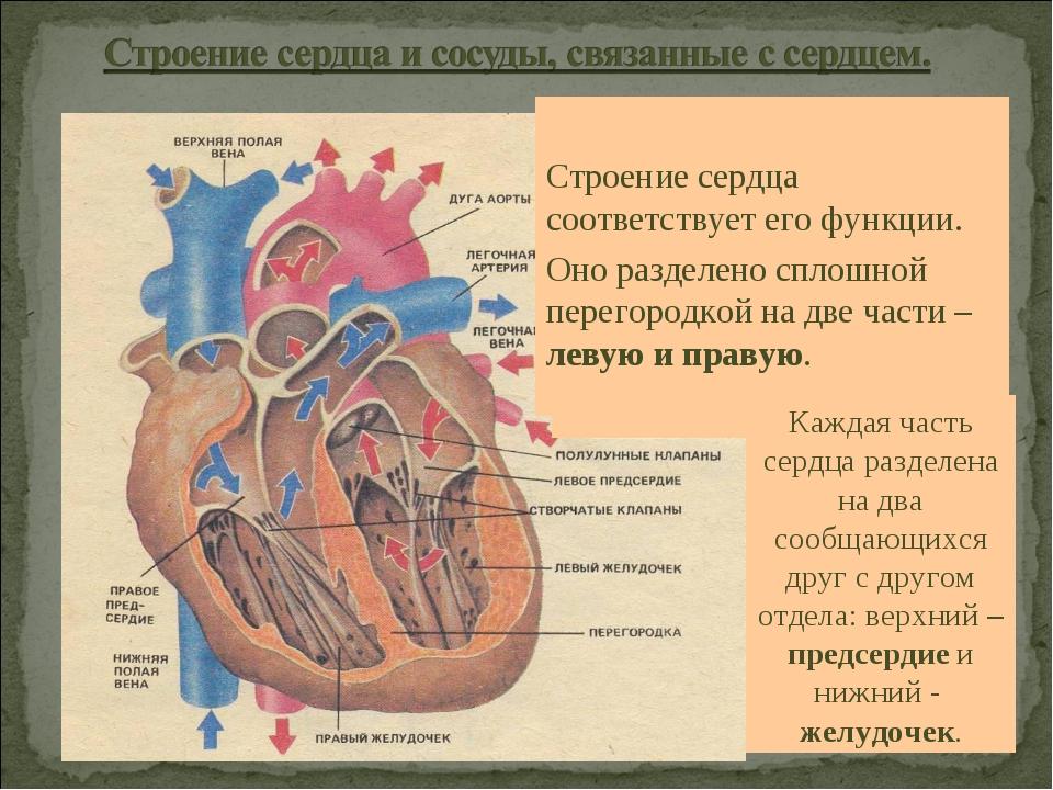 Строение сердца соответствует его функции. Оно разделено сплошной перегородк...