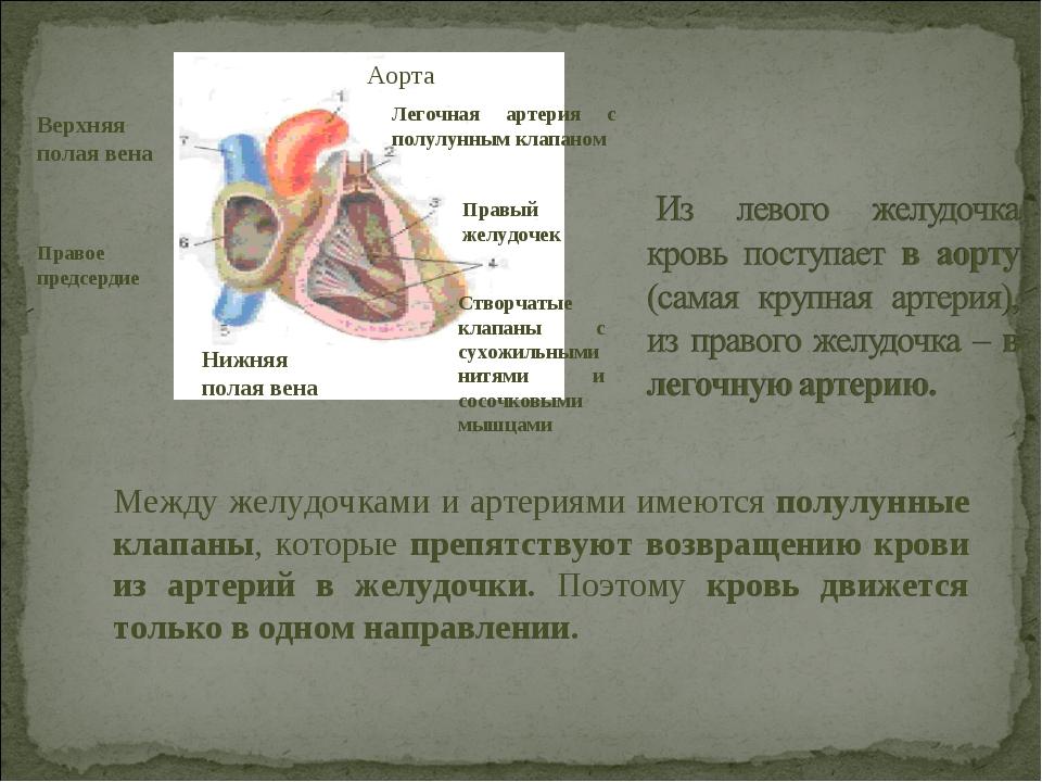 Аорта Легочная артерия с полулунным клапаном Правый желудочек Створчатые клап...
