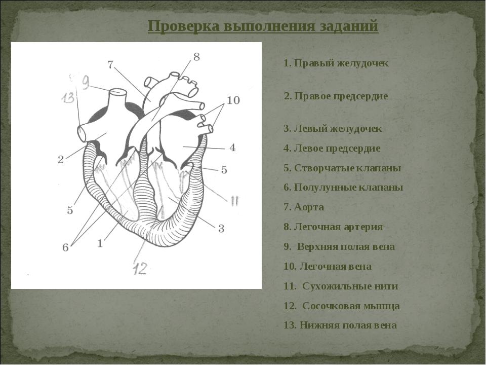 Проверка выполнения заданий 1. Правый желудочек 2. Правое предсердие 3. Левый...