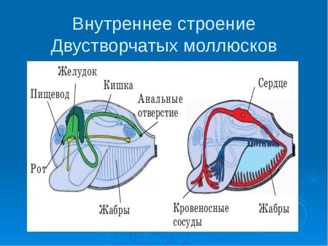 Внутреннее строение Двустворчатых моллюсков