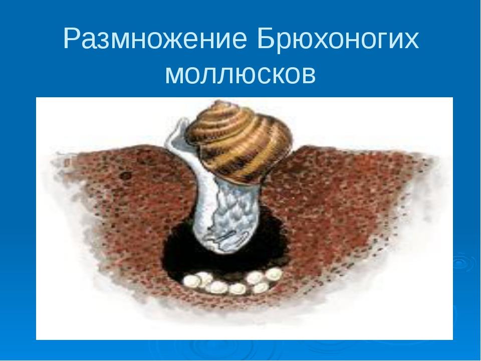 Размножение Брюхоногих моллюсков