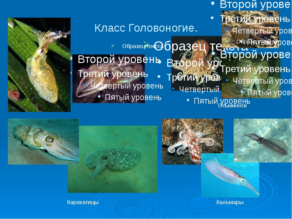 Класс Головоногие. Каракатицы Осьминоги Кальмары
