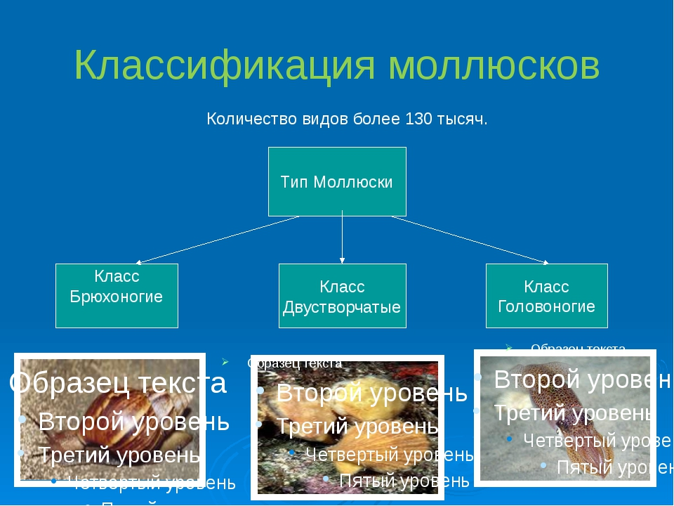 Классификация моллюсков Количество видов более 130 тысяч. Тип Моллюски Класс...