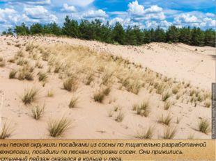Зоны песков окружили посадками из сосны по тщательно разработанной технологии