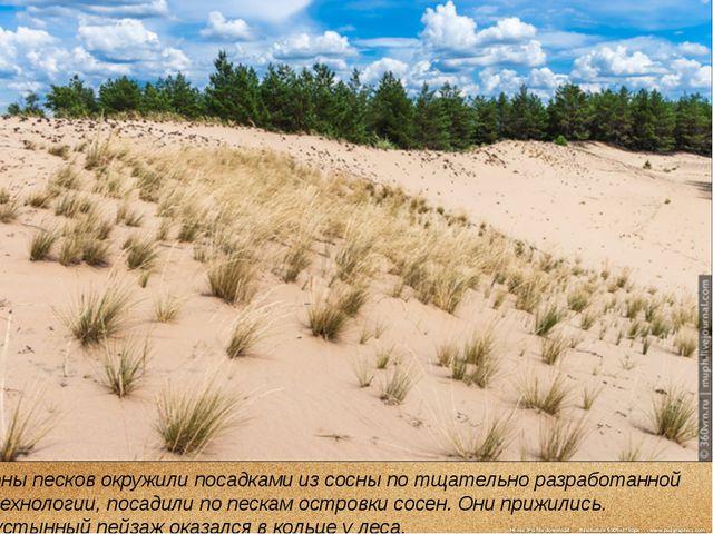 Зоны песков окружили посадками из сосны по тщательно разработанной технологии...