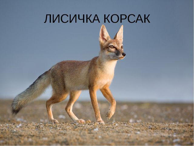 ЛИСИЧКА КОРСАК