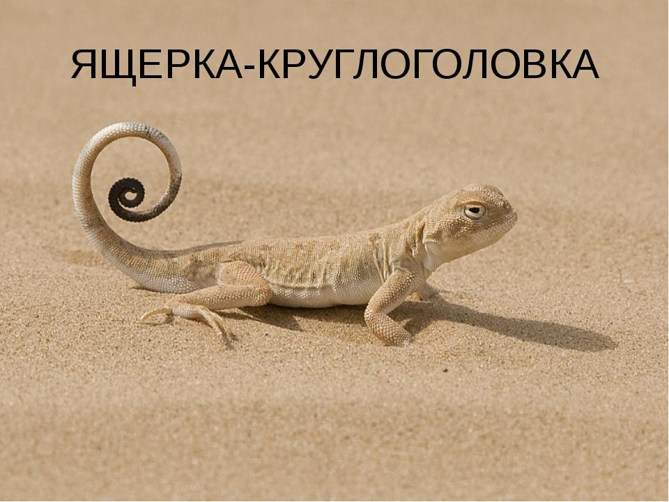 ЯЩЕРКА-КРУГЛОГОЛОВКА