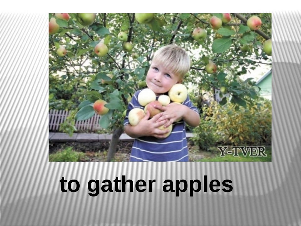 to gather apples
