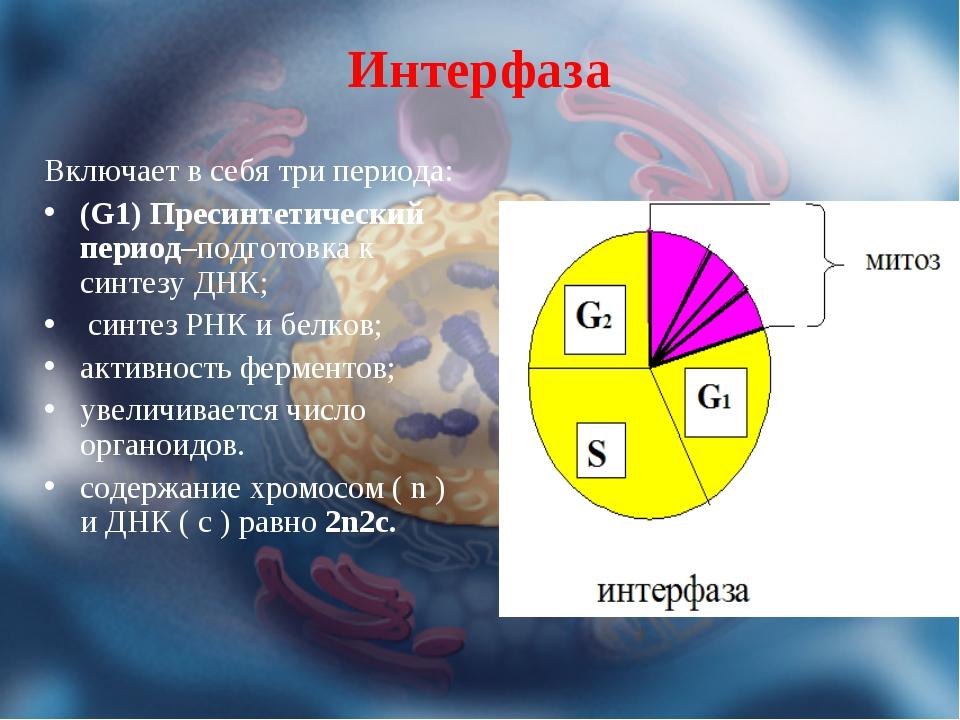 Интерфаза Включает в себя три периода: (G1) Пресинтетический период–подготовк...