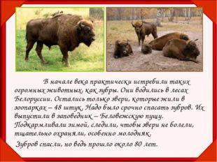 В начале века практически истребили таких огромных животных, как зубры. Он