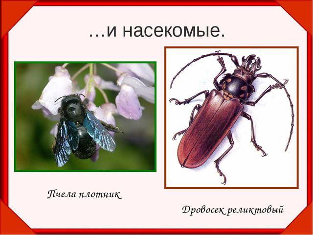 …и насекомые. Пчела плотник Дровосек реликтовый