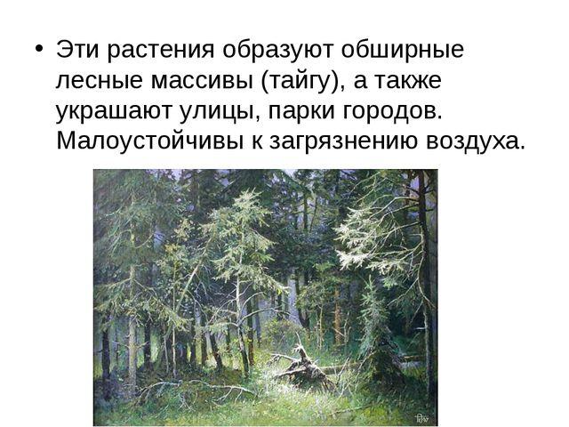 Эти растения образуют обширные лесные массивы (тайгу), а также украшают улицы...