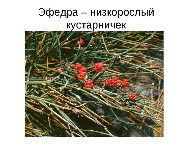 Эфедра – низкорослый кустарничек