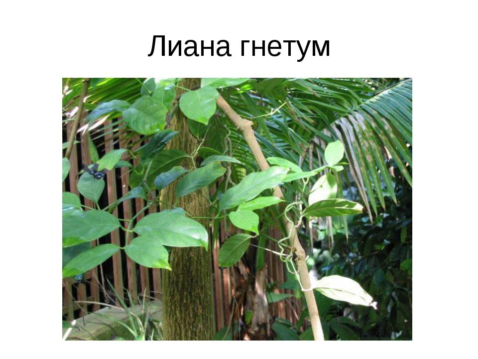 Лиана гнетум