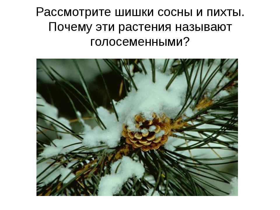 Рассмотрите шишки сосны и пихты. Почему эти растения называют голосеменными?