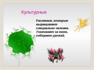 Культурные Растения, которые выращивает специально человек. Ухаживает за ними