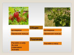 Общее кустарник кустарник Приносит пользу Приносит пользу Различие Растёт в с