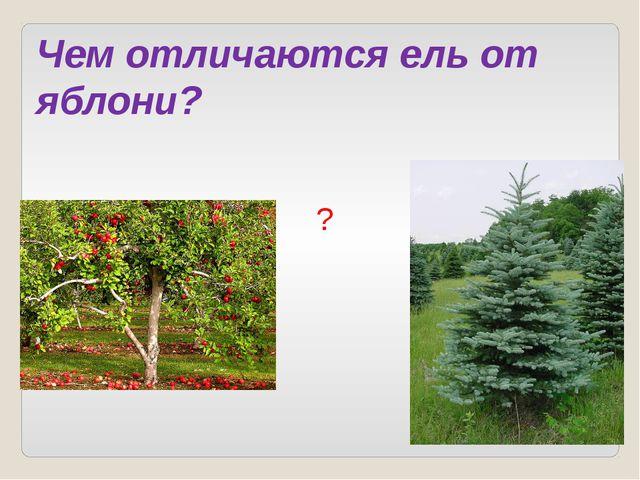 Чем отличаются ель от яблони? ?