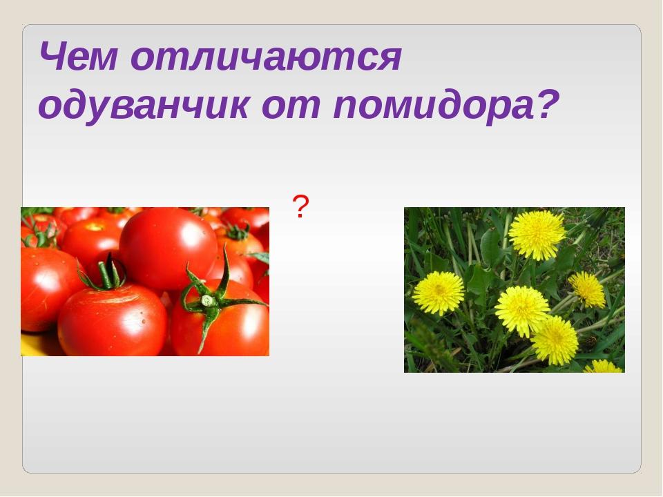 ? Чем отличаются одуванчик от помидора?