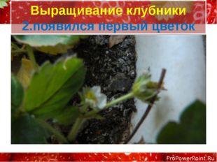 Выращивание клубники 2.появился первый цветок ProPowerPoint.Ru